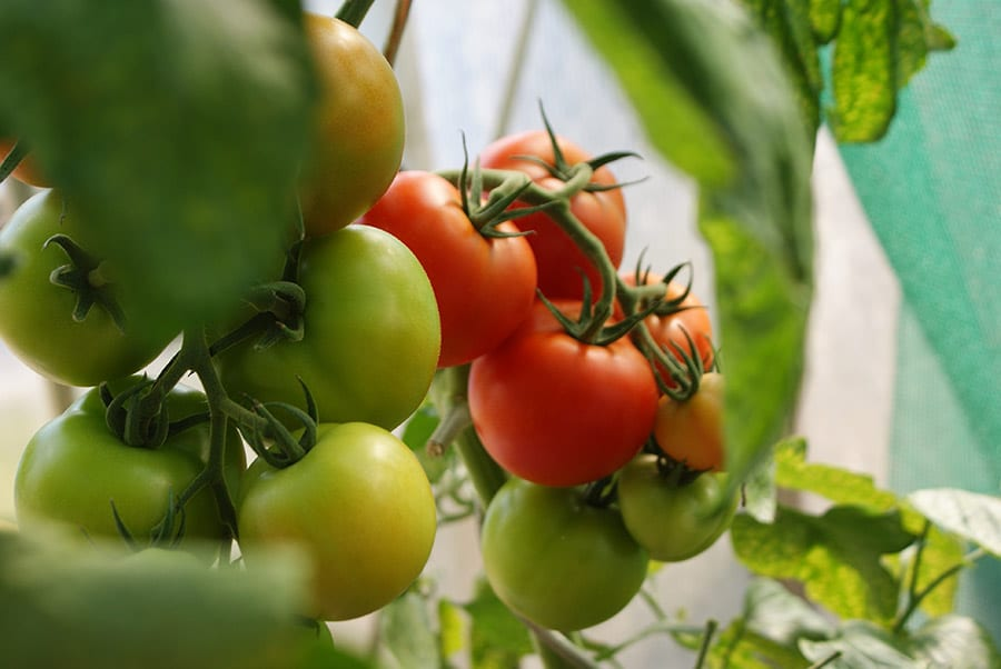 Tomate, el mejor booster natural licopeno