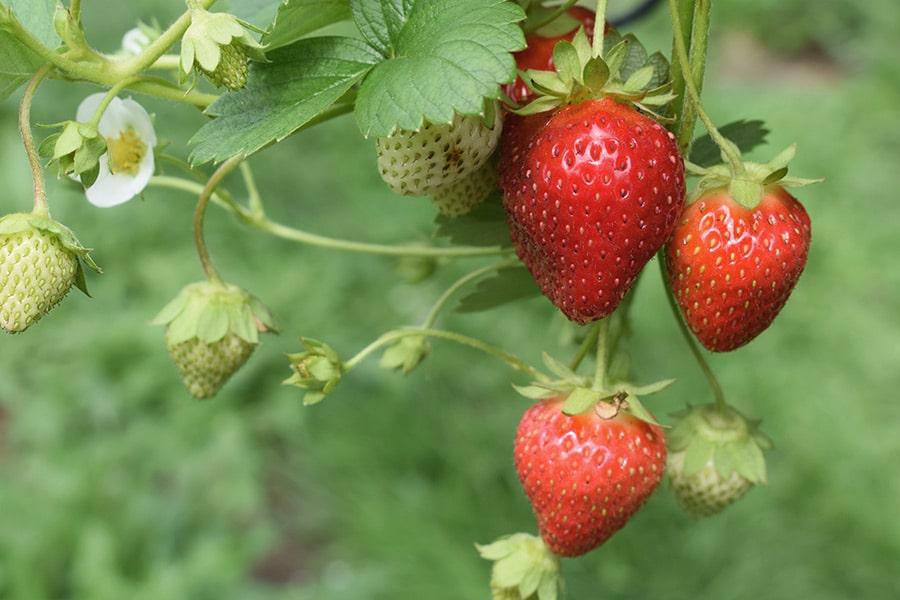 Aliados UANA:  Fresas, el antiedad de primavera