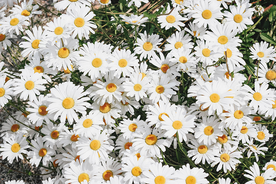 Camomila, el ingrediente estrella para las pieles sensibles