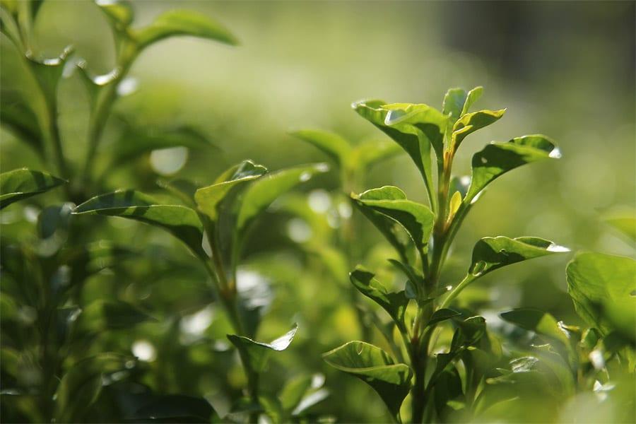 Té verde, el súper ingrediente de la cosmética natural ecológica
